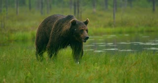 Close-up of large adult brown bear walking free in the forest at night