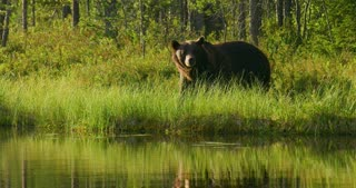 Close-up of large adult brown bear walking free in the forest