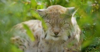 European lynx lying in the grass sleeping