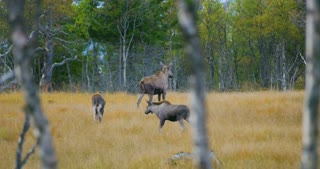 Female moose mother with two young elk calfs walks in forest