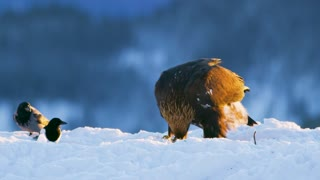 Golden eagle eats on a dead animal in the mountains at winter