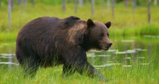 LAage adult brown bear walking and running free in the forest