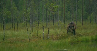Large adult brown bear walking free in the forest at night