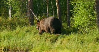 Large adult brown bear walking free in the forest