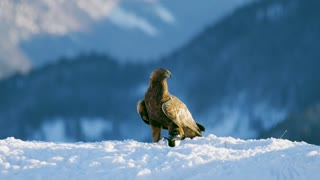 Proud golden eagle eats on a dead animal in the mountains at winter