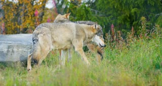 Two wolves in a wolf pack walking in the forest