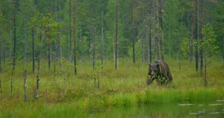 Wild adult brown bear walking in the forest while raining