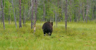 Wild adult brown bear walking into the forest