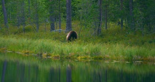 Wild young brown bear walking in the forest looking for food