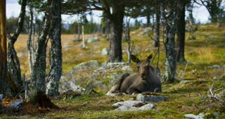 Young moose calf lying on the forest floor resting