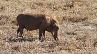 Wart hog eats grass in Ngorongoro