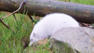White arctic fox lies and rests at forest floor in the late fall
