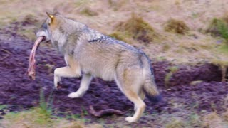 Wolf walking with a meat bone in the mouth