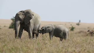 Young elephant and mother eating in Serengeti