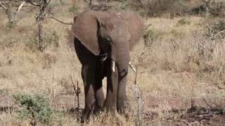 Young elephant eating grass in Serengeti