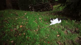 A cute black and white cat is playing with a brown frog in the grass under the tree.