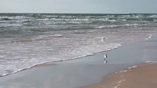 A cute white and grey sea gull is walking on a sandy beach.