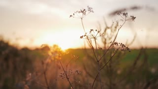 Beautiful nature. Wild grass sways in the wind in sunset. Countryside. Slow mo