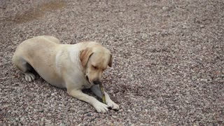 big dog gnaws a branch stick in the yard with gravel road