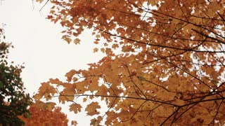 golden yellow orange maple leaves in autumn park view from below.