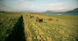 Aerial view of the herd of horses grazing on the lava field on the shore of the sea. Beautiful view in Iceland.