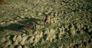 Aerial view of the horses walking on the lava field in Iceland. Wild animals grazing on the green meadow.