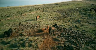 Aerial view of the wild horses grazing on the lava field. Animal rolls in the sand on the shore of the sea.