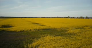 Agricultural yellow rape blooming field flyover. Ripe canola rapeseed against blue sky panorama. Aerial drone view 4K.
