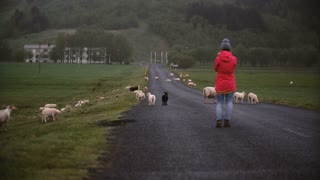 Back view of young traveling woman standing on the mountain road and taking photos of sheep on smartphone.