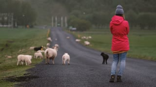 Back view of young woman standing on the road and looking on white and black sheep walking on it, grazing together.