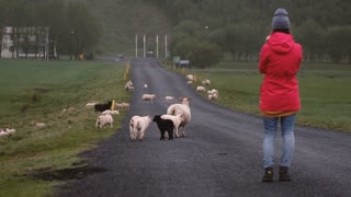 Back view of young woman standing on the road and taking photos of sheep grazing on the field o smartphone.
