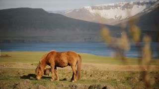 Beautiful ginger Icelandic horse eating grass, grazing on the field. Animal farm or ranch outside the city.