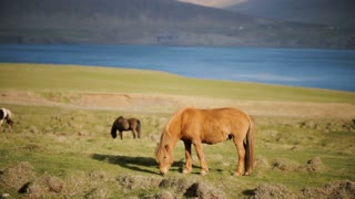 Beautiful Icelandic ginger horse grazing on the meadow. Animal farm outside the city near the water.