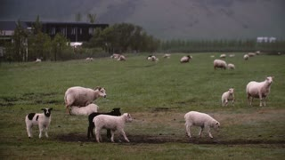 Beautiful landscape of mountain fields and sheep grazing on it. Farm animals on the meadow.