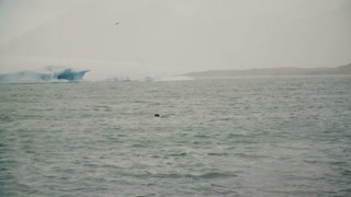 Beautiful landscape of the fur seal swimming in the sea. Animal near the famous sight - ice lagoon in Iceland.