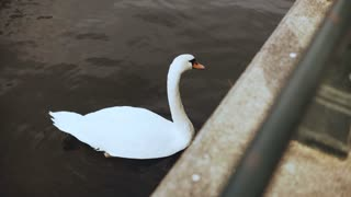 Beautiful single white swan near river embankment. 4K. Elegant wild bird in city surroundings. Close up high angle shot.