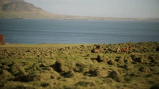 Beautiful view of North nature. The herd of wild icelandic horses running in gallop through the field.