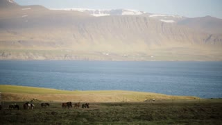 Beautiful view of the herd of horses grazing on the field, eating the grass. Wild Icelandic horses on the nature.