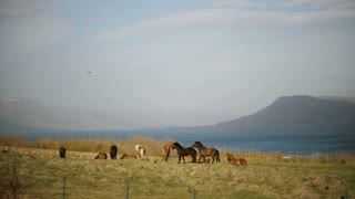 Beautiful view of the herd of Icelandic horses walking on the field, eating grass. Countryside farm.