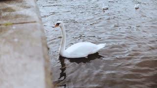 Beautiful white swan and seagulls near embankment. 4K. Elegant wild birds feeding in city surroundings. Panning shot.