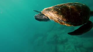 Big green turtle coming underwater. Sea animal swimming into water to bottom. Beautiful water nature.