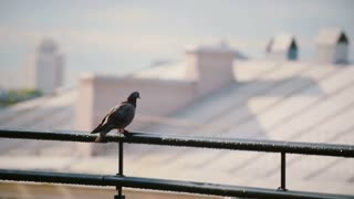 Birds sits on a roof parapet in sunny day. Pigeon looking around and flies away.