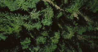 Drone ascending and spinning above forest road. Aerial 4K vertical top view shot of peaceful sunny evergreen treetops