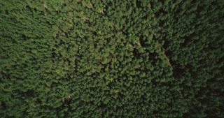 Drone flying slowly above smooth forest texture. Aerial 4K straight vertical shot of quiet wilderness and lost road.