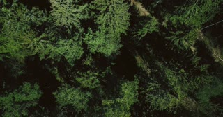 Drone slowly rising up above calm green forest. Aerial 4K vertical top view shot of beautiful evergreen pine treetops.