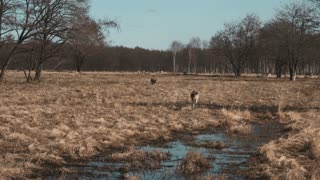 Little deer walks on a safari near water in autumn day. Brown fawn walking on the field, grazed on a meadow.