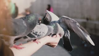 Pigeons sit on woman's hand and try to get food. Slow motion. Woman feeds birds in the street on a sunny day. Nature.