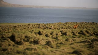 Scenic view of beautiful nature. The herd of wild icelandic horses running in gallop through the field.