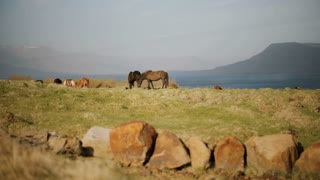 Scenic view of the herd of wild Icelandic horses walking together on the field near the water, eating grass.