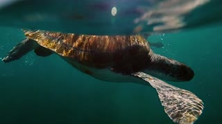 Sea turtle swimming down from the glassy sea surface through clear blue water. Animal diving to the bottom.